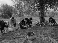 Ostuni - Olive harvest