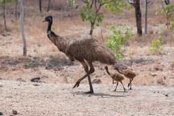 Emu with chicks