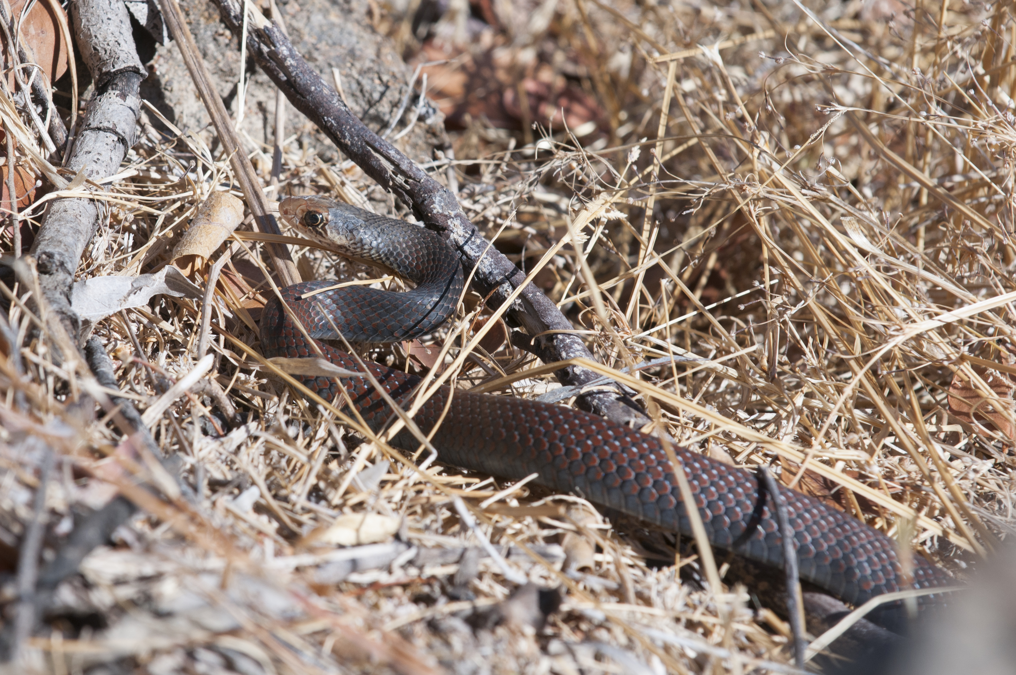 Black Whipsnake Demansia