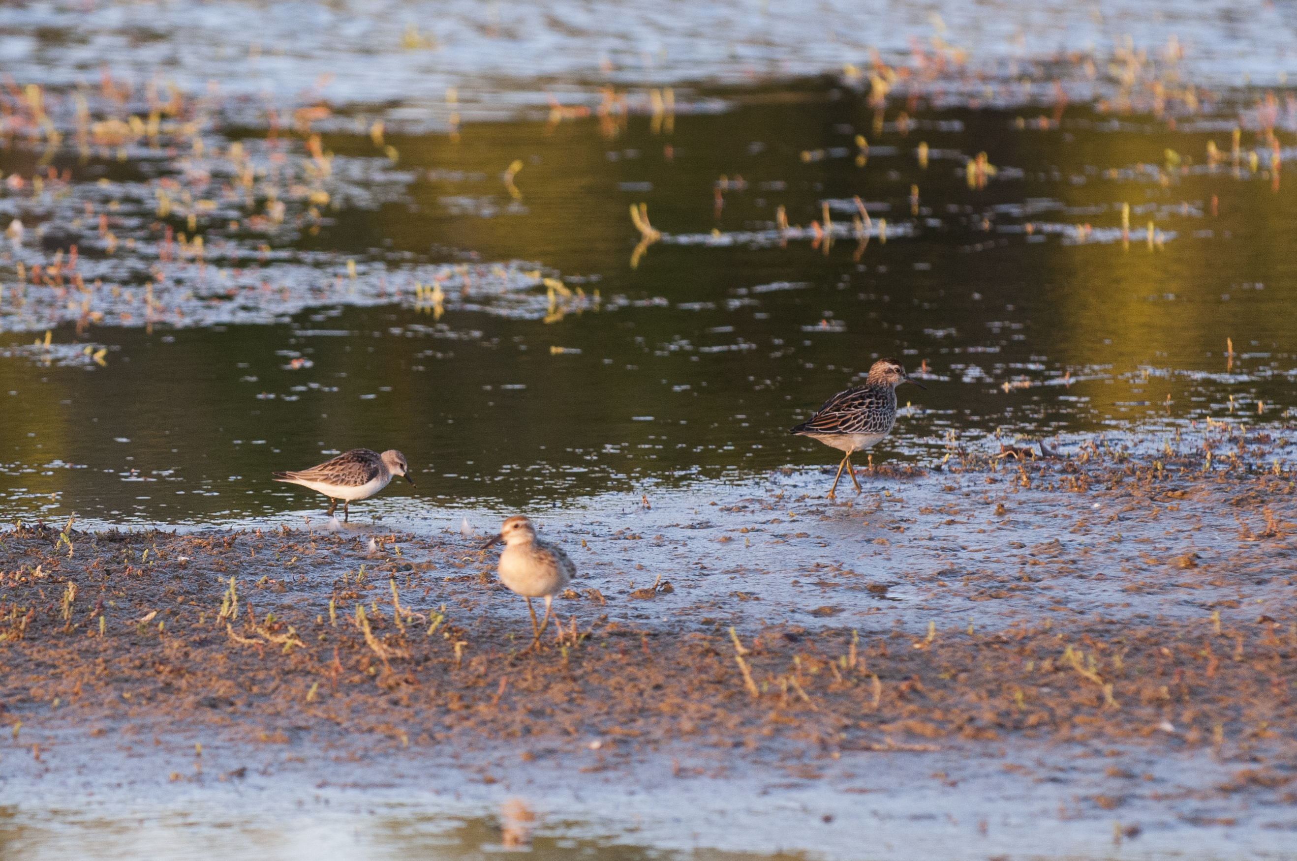 Sharp-tailed Sandpipers and Red-necked Stint
