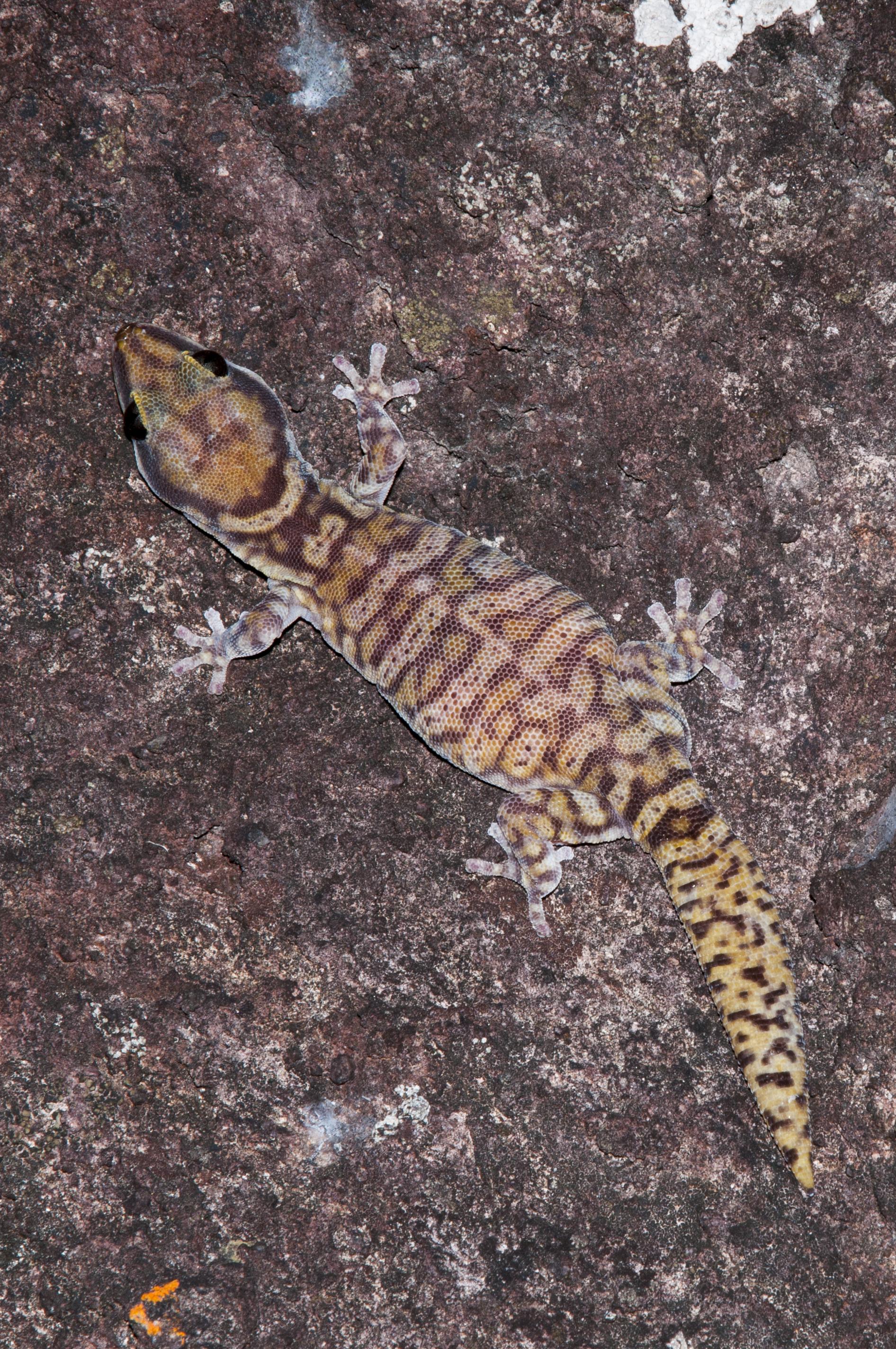 Oedura coggeri Northern Spotted Velvet Gecko