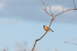 Black-throated Finch northern