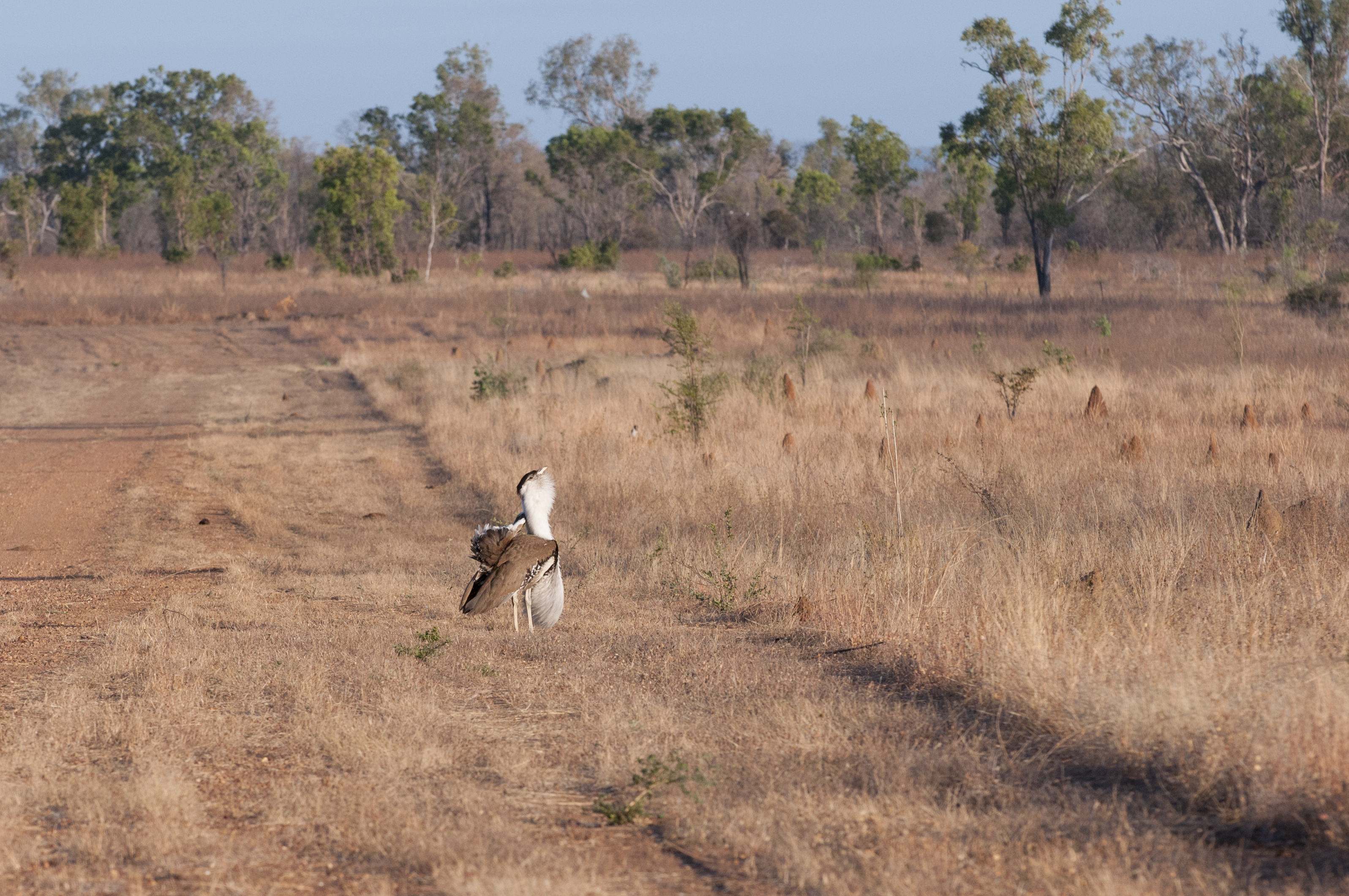 Australian Bustard displaying