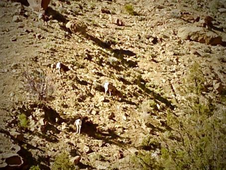 Desert bighorns and wild horses