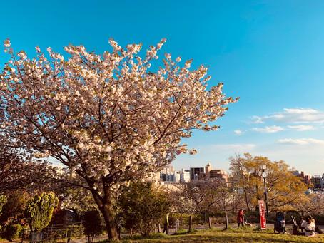 西郷山公園の八重桜。