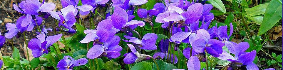 violette bandeau.jpg