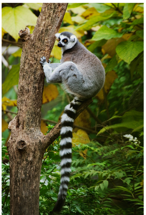 Animal with a long tail climbing a tree