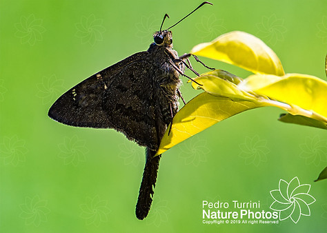 Moth Urbanus dorantes