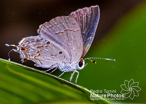Butterfly Strephonota sp