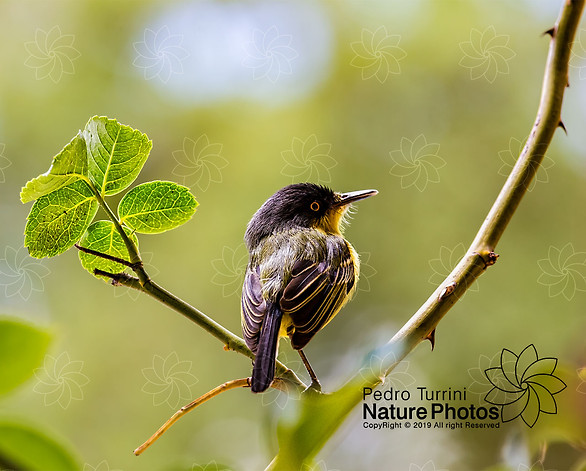 Bird Todirostrum cinereum