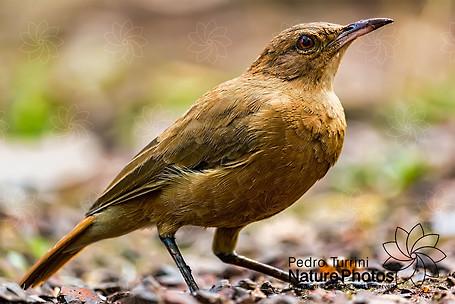 Bird Rufous Hornero