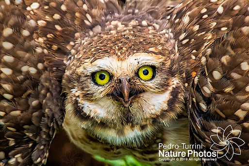 Owl - Athene cunicularia