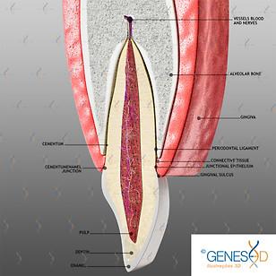 GENESE3D Maxillary Incisor anatomy