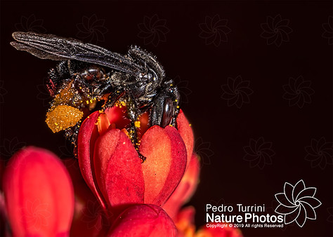 bee Arapua - Trigona spinipes