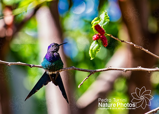 Hummingbird Eupetomena macroura