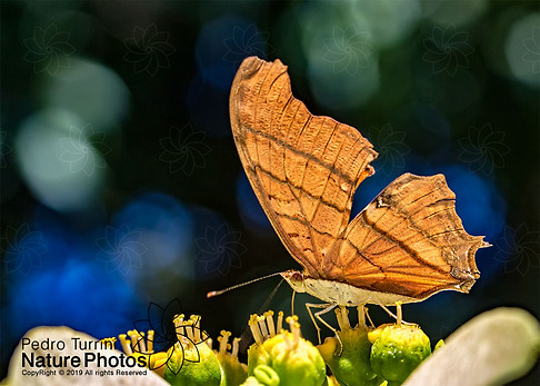 Butterfly unident