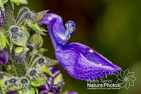 Brazilian boldo flower - Plectranthus barbatus