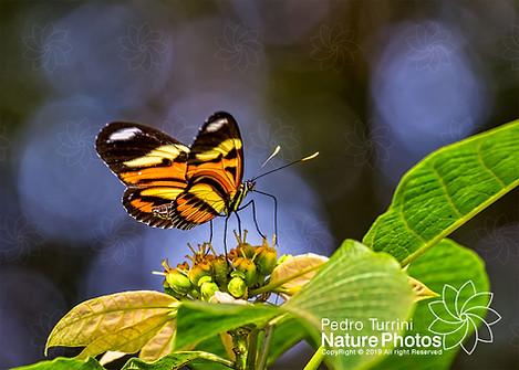 Butterfly Heliconius ethilla narcaea