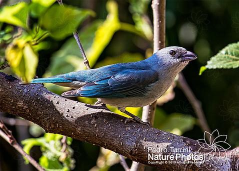 Bird Thraupis episcopus