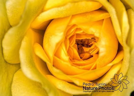 Bud rose Yellow