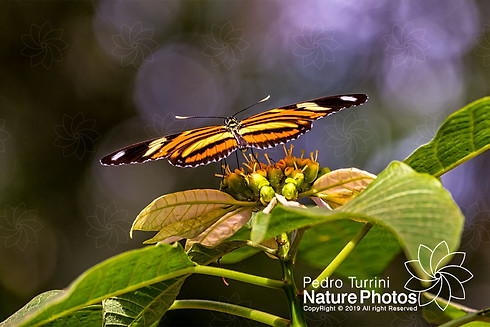 Butterfly Heliconius ethilla narcaea