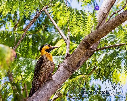Campo Flicker woodpecker bird