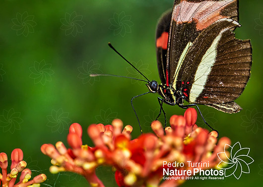 Butterfly Heliconius erato phyllis