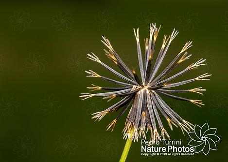 Bidens pilosa seeds