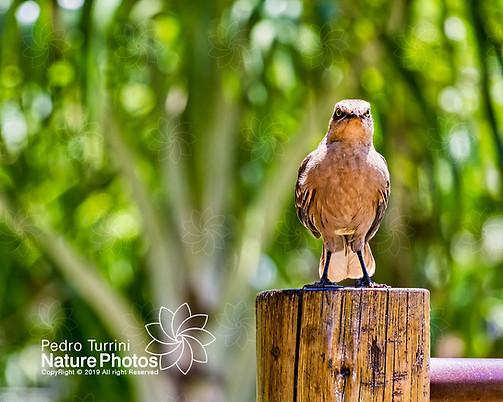 Bird Mimus saturninus - Bird Sabiá do Campo