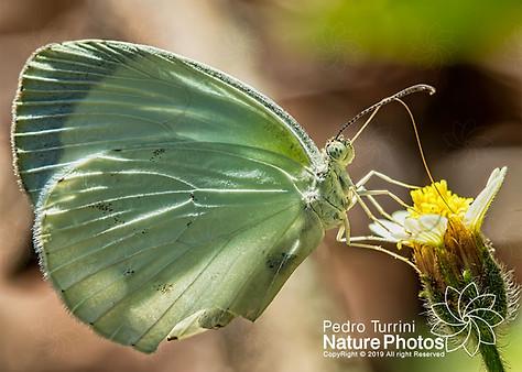 Butterfly white - Eurema albula