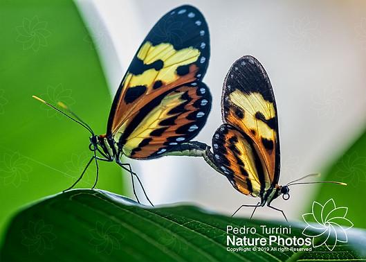 Butterfly Mechanitis polymnia casabranca