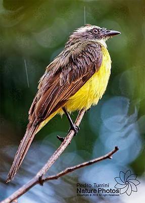 Bird Great Kiskadee