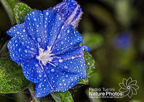 Blue daisy flower