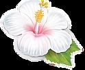 set-of-hibiscus-vector-1491215.png
