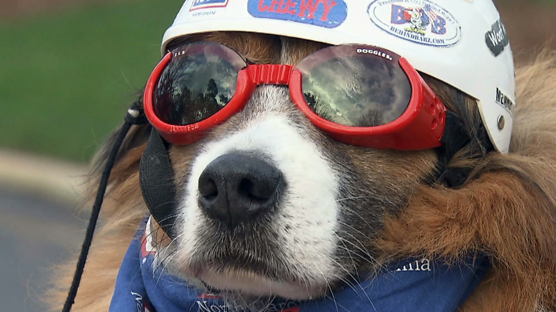 Dog Tar Heel Traveler