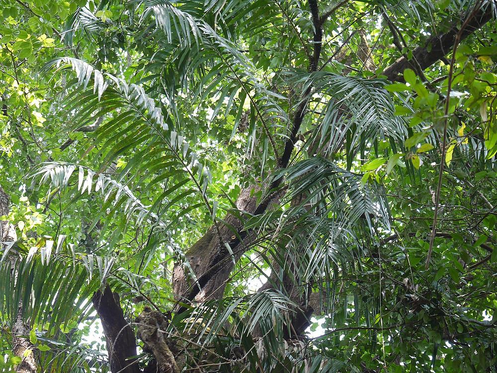 rattan palmera
