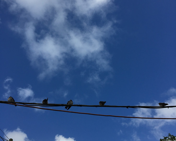 Baby swallows newly fledged