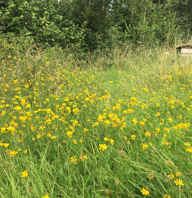 Birdsfoot trefoil and bee hive