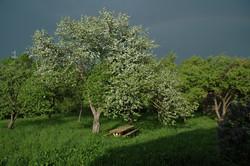 almafa