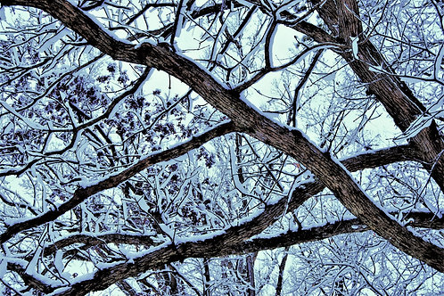 Morning Snow on Tree  Branches