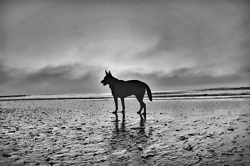 Black and White Photo of German Shepard on Beach