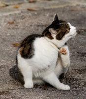 cat with fleas.jpg