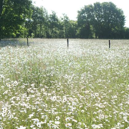 Our alpaca field