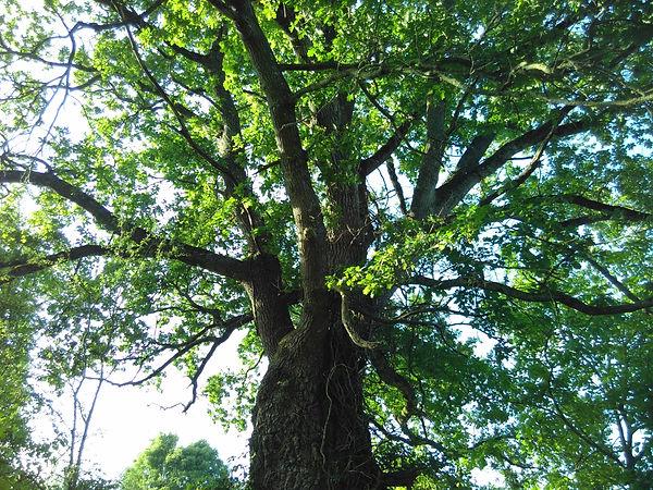 Le Boulay Oak Tree of Life
