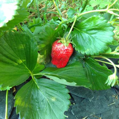 Les premières fraises