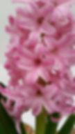 PinkSurpriseClose.jpg