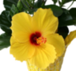 hibiscus yellow ed - Copy.jpg