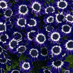 cineraria blue.jpg