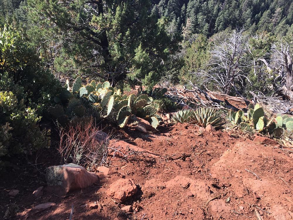 Cactus, Tonga National Park, Arizona. Zane Grey 50 miler