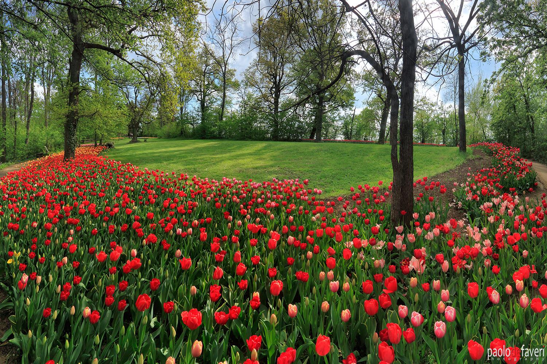 PDF_CTS047_Messer_Tulipano_Tulips_field_